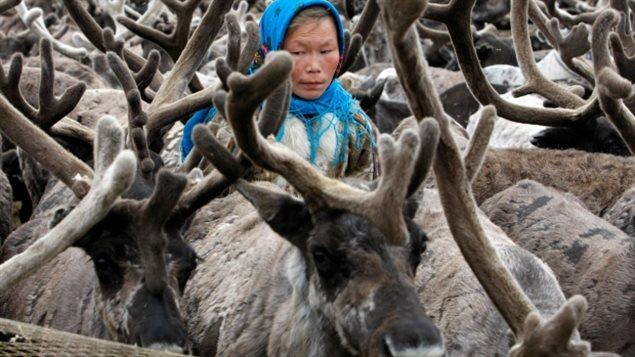 去年西伯利亚一男孩感染驯鹿尸体的炭疽病而死亡