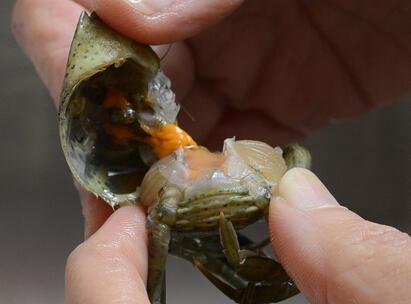 green-crab.jpg