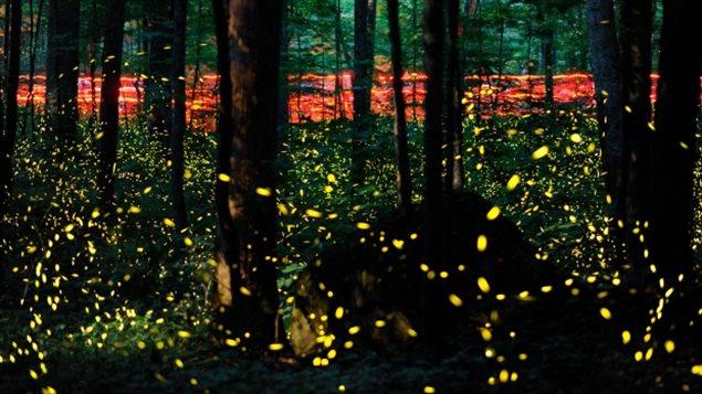 加拿大首都渥太华今年夏天萤火虫数量明显增加