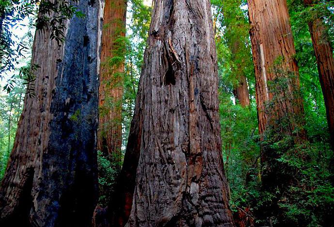 全球最壮观的美国千年红杉树