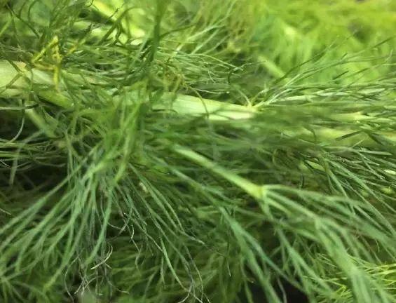 冬天最厉害的绿叶菜